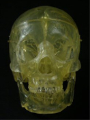 LIFE-SIZE 3-Piece BUCKY 1st Quality TRANSPARENT TRANSLUCENT CLEAR HUMAN SKELETON SKULL-Movable Jaw-Cool if you add LED lights! LifeSize Anatomical Articulated 3-Pc Halloween prop at great price. Skull with adjustable hinged jaw, removable calvarium.