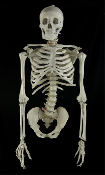 Realistic life size BUCKY SKULL SKELETON TORSO w- Arms. Human anatomy bones props building zombie parts-spine,pelvis,ribcage,clavicles. Cheap discount wholesale Halloween props,decorations,costume accessories,haunted house horror props at Horror-Hall