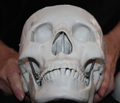 LIFE-SIZE 3-Piece BUDGET BUCKY *4th Quality* HUMAN SKELETON SKULL - Budget LifeSize Anatomical Articulated 3-Part Skull Halloween prop at a great price. Movable jaw, removable calvarium. Skull with upper jaw, hinged lower jaw and hook-on calvarium.
