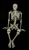 Life Size Human Bones Budget BUCKY SKELETON Halloween Prop Decoration 4th Quality Complete Skull Anatomy Cheap Discount Wholesale Halloween Prop Building Supplies, Walking Dead Zombie Pirate Theme Gothic Décor (Stand NOT included, sold separately)
