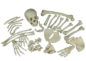 Realistic mostly life size 12-LB BAG BUDGET BUCKY BONES-Human Anatomy Cheap Halloween Prop Building Walking Dead Zombie Pirate Theme Gothic Decor-Need skeleton parts without spending an arm and a leg? Twelve pounds (5kg) assorted 4th quality bones.