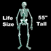 Life Size Jointed Cutout Anatomy Spooky SKELETON Skull Bones Gothic Halloween Decoration. Colorful Cardboard Hinged Fold-out 4-feet 7-inch tall! (137.5cm x 30cm) Graveyard, Cemetery, Dungeon, Horror Scene, Haunted House Decor Door Wall Window Mural.
